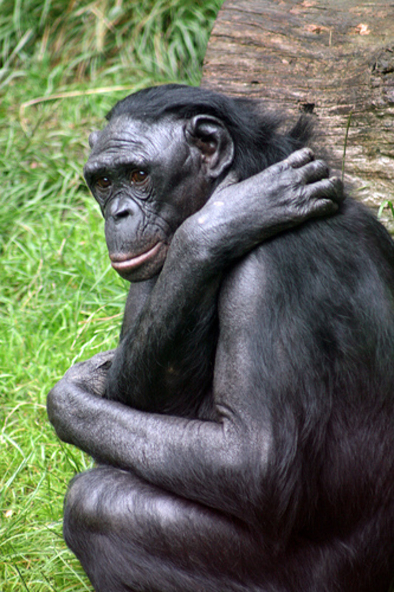 The Bonobo Ape