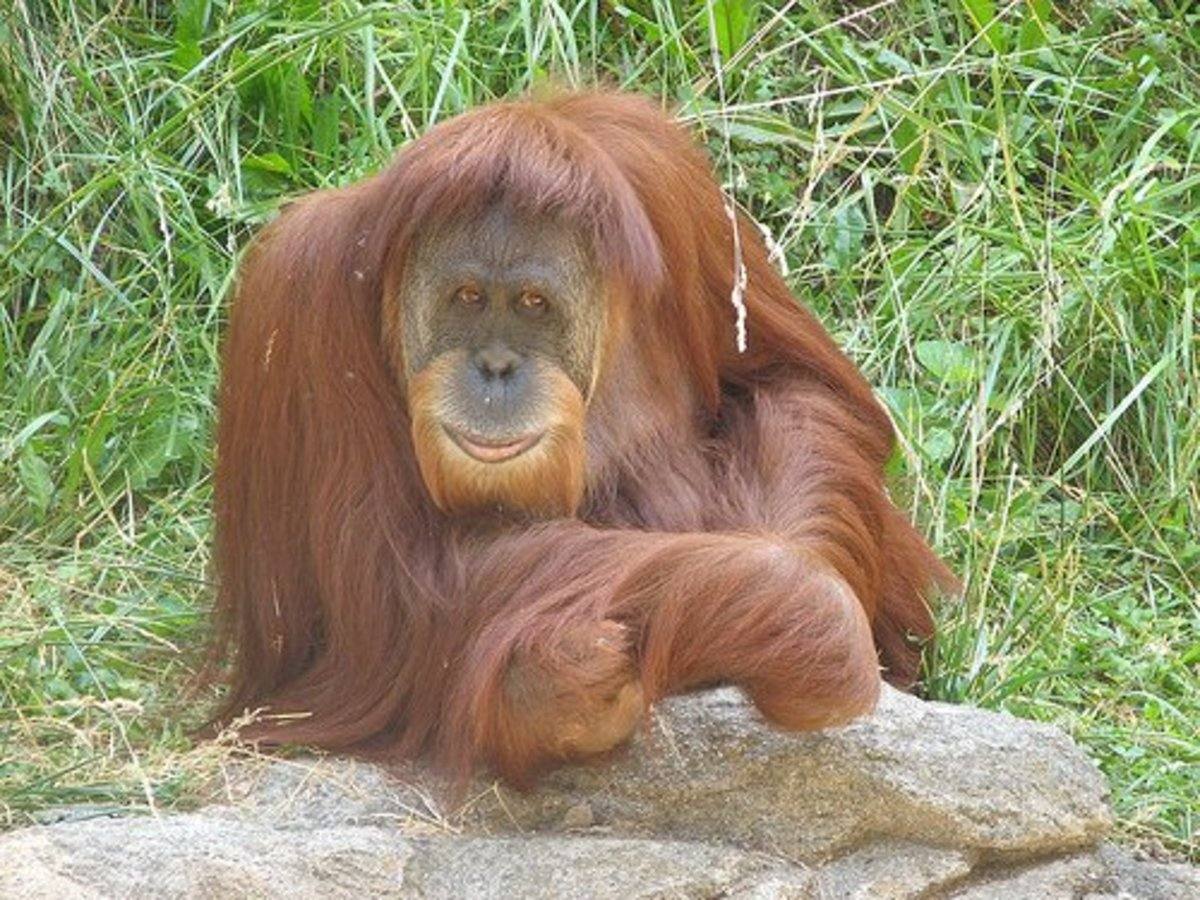 The Sumatran Orangutan