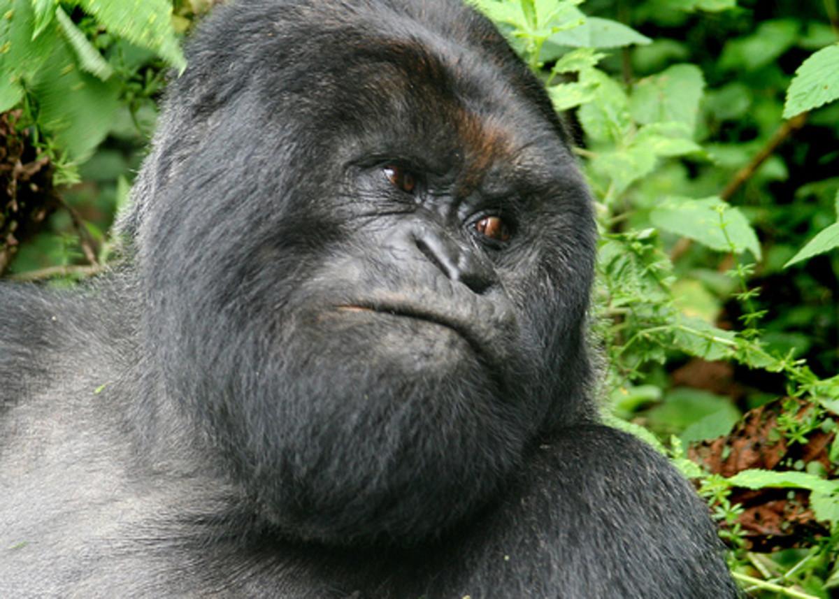 The Mountain Gorilla