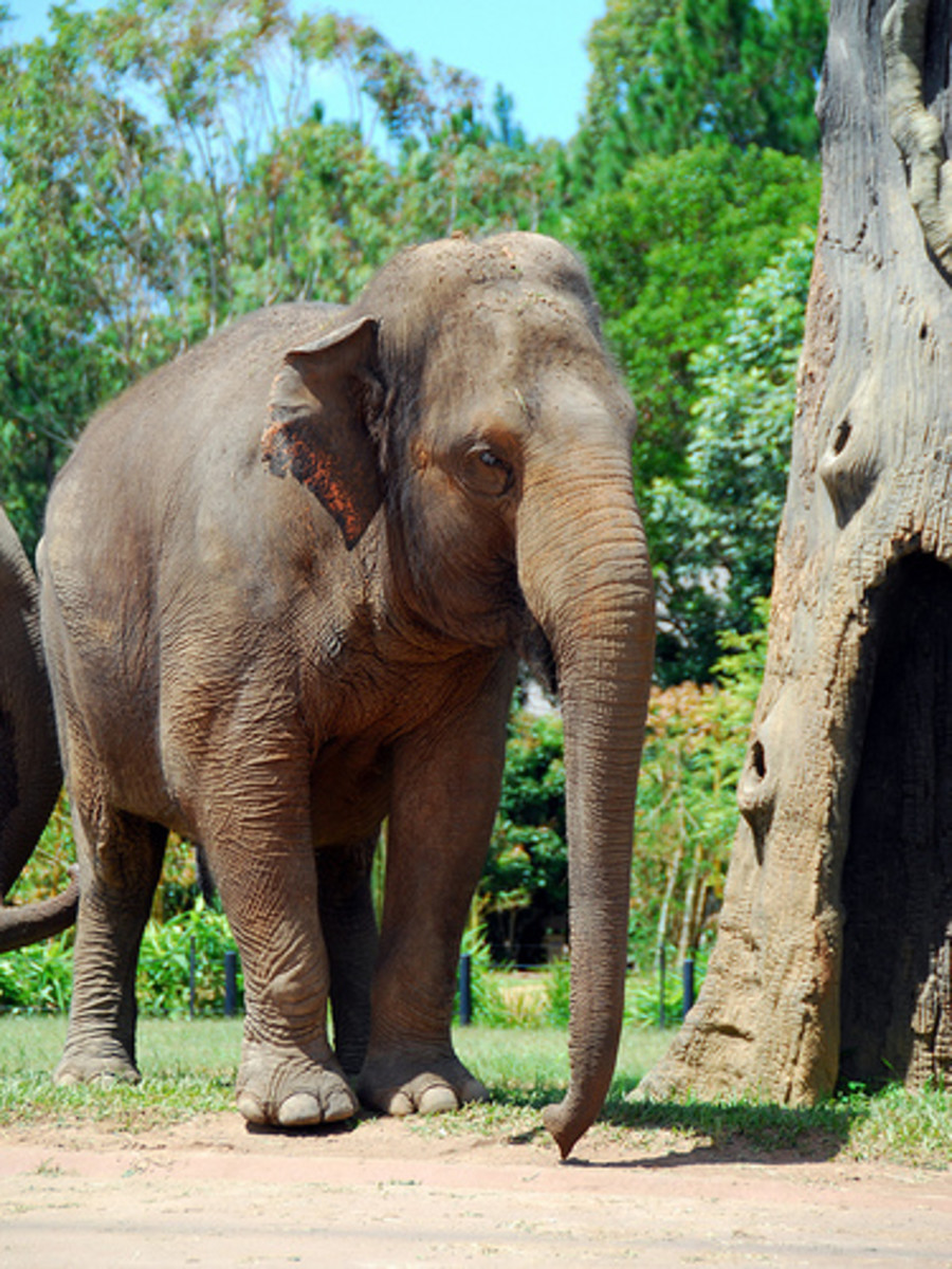 Lost scientific name for asian elephant