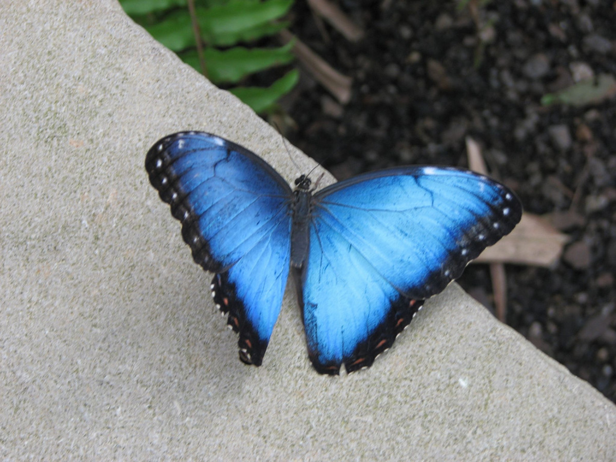 This is probably the most beautiful butterfly I have ever seen. It is hard to capture a shot with them with their wings opne, but when you do it's priceless. They are beautiful to watch fly around the gardens.