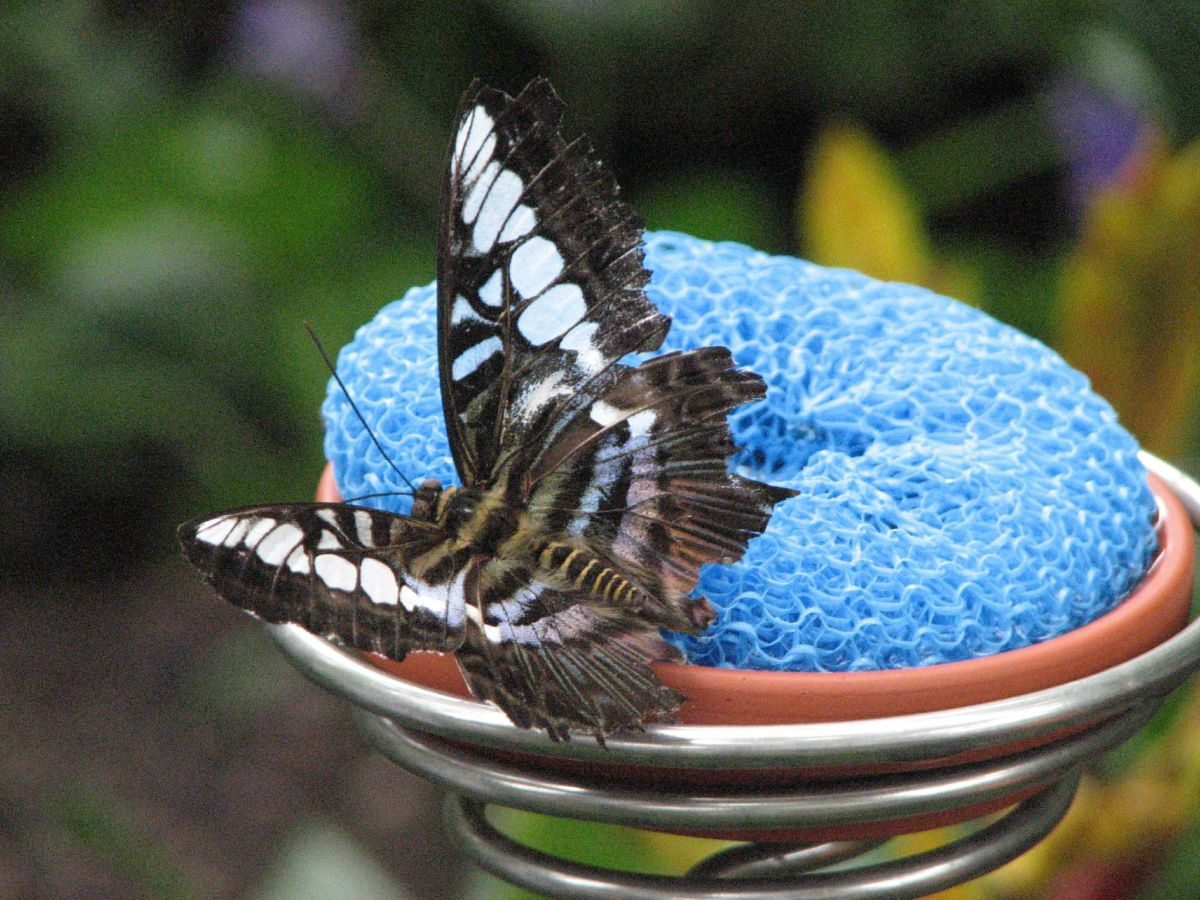 This is a Blue Clipper.  Most butterflies enjoy sweet smells. This butterfly landed on a kitchen sponge soaked in sugar water.
