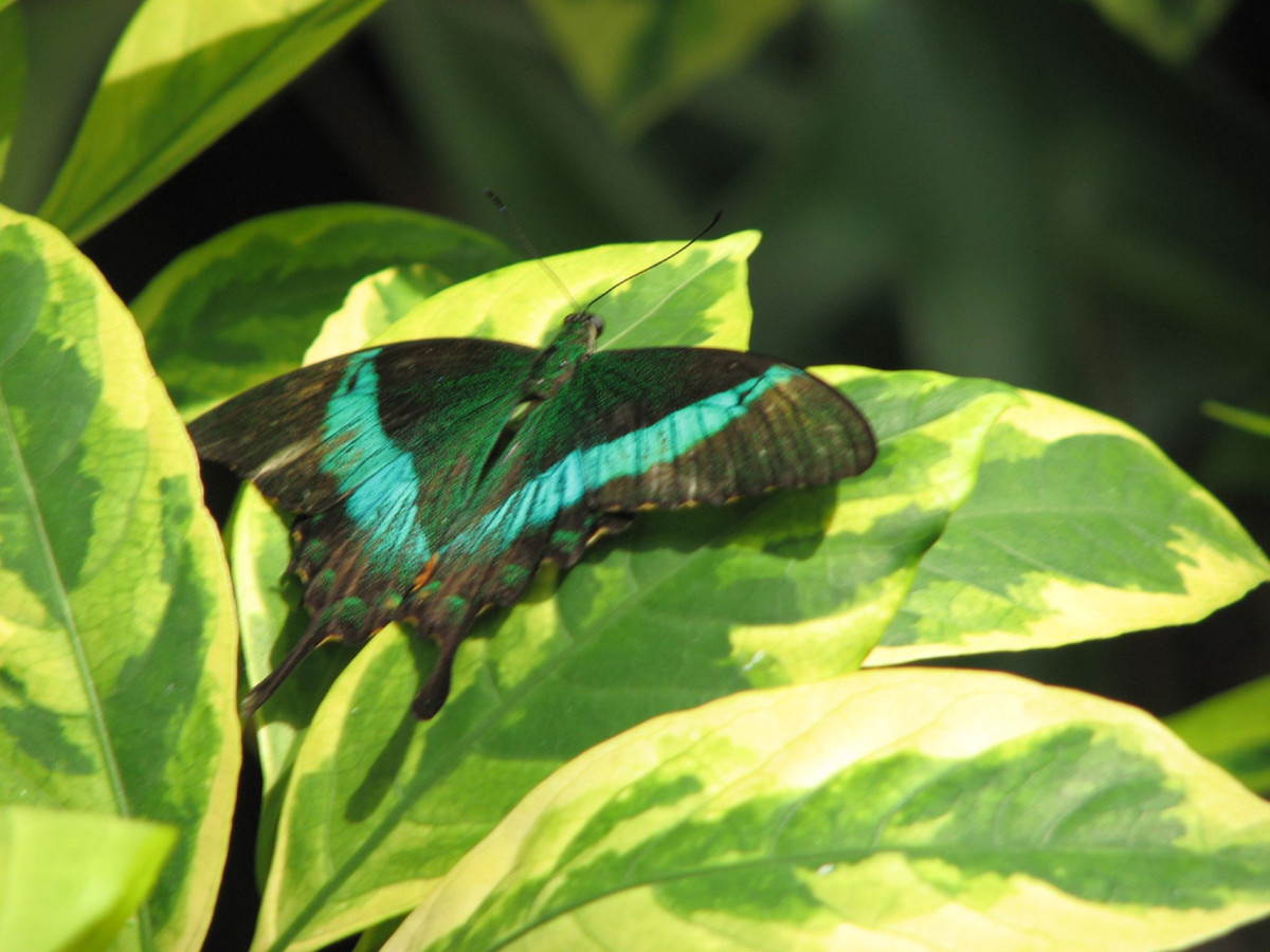 This is an Emerald Swallowtail.  Although butterflies taste with their feet, they smell with their antennae.