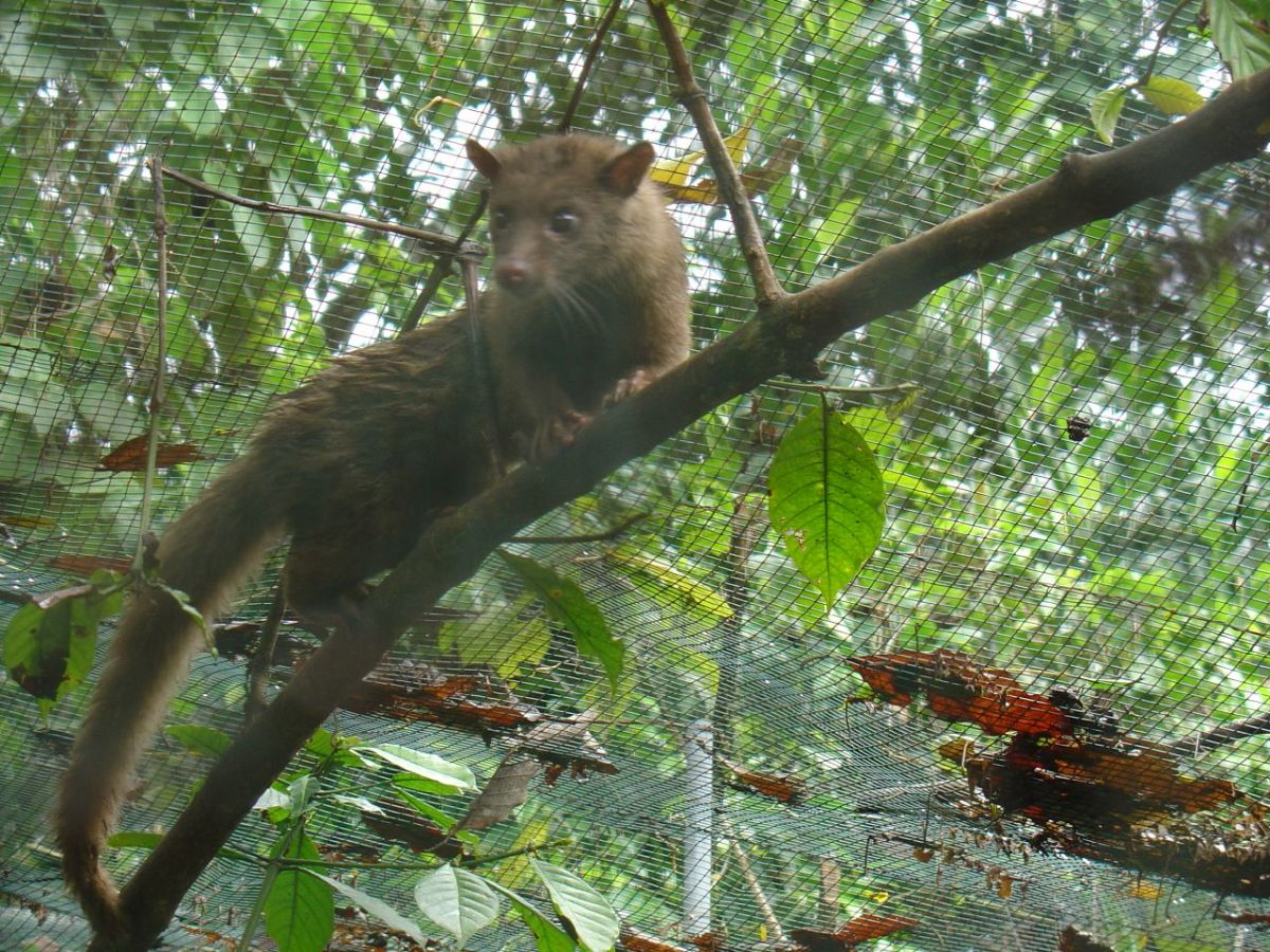 Asian Palm Civet climbing a tree