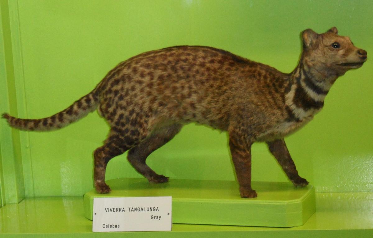 An Oriental Civet