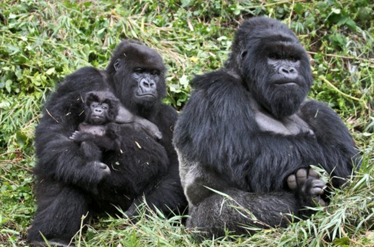 gorillas-and-humans-10-facts-on-why-we-are-more-similar-than-we-think