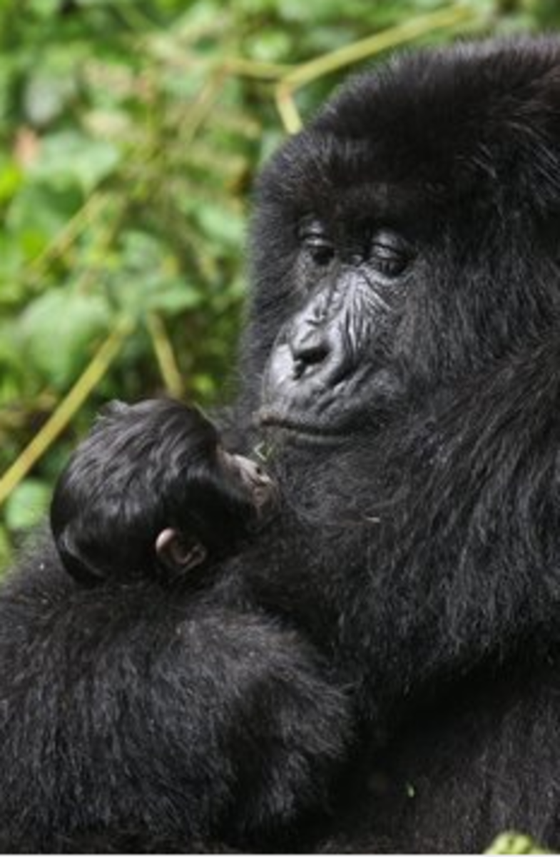 A Mother and Baby Mountain Gorilla.