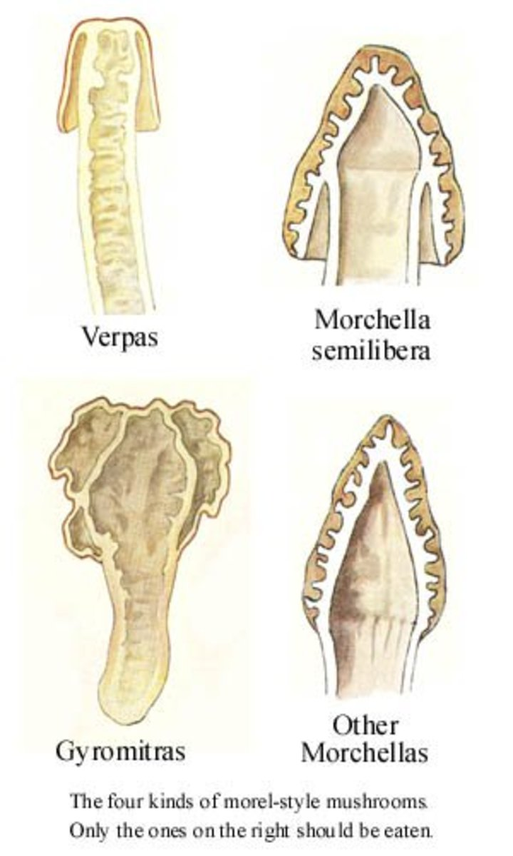 Examples of false morels.