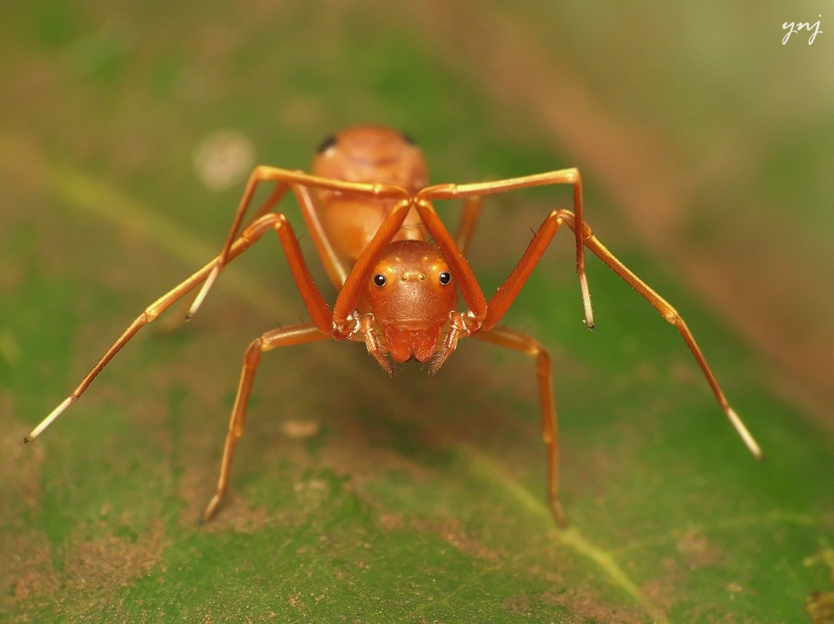 An ant mimicking a jumping spider