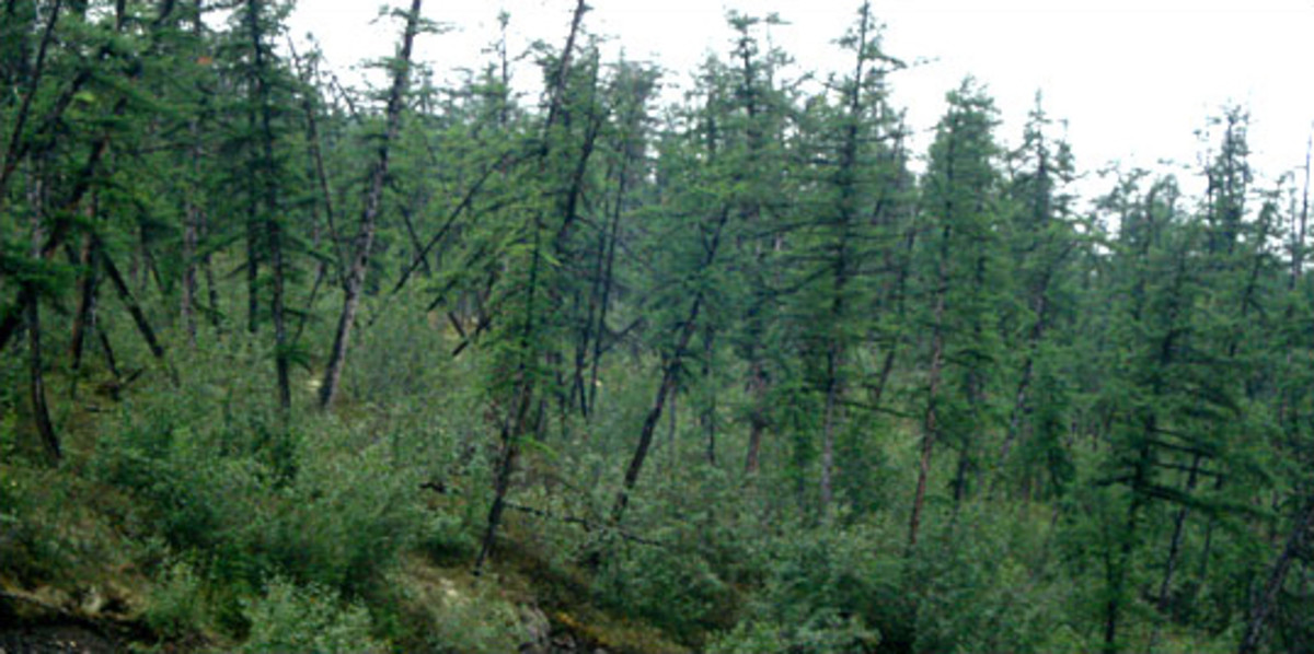 "A ""drunken forest.""  The chaotically leaning trees result from the melting of the permafrost, which formerly stabilized the root systems.  Image courtesy John Ranson, NASA, and Wikipedia."