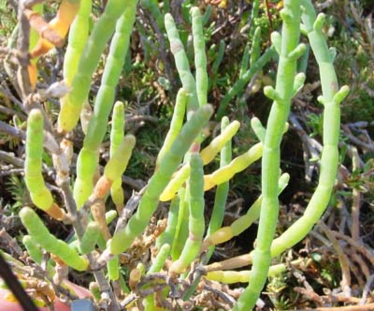 "Salicornia, a ""halophyte""--a salt-loving plant whose conversion to biofuel is being currently developed.  Image courtesy Sci.SDSU.edu."