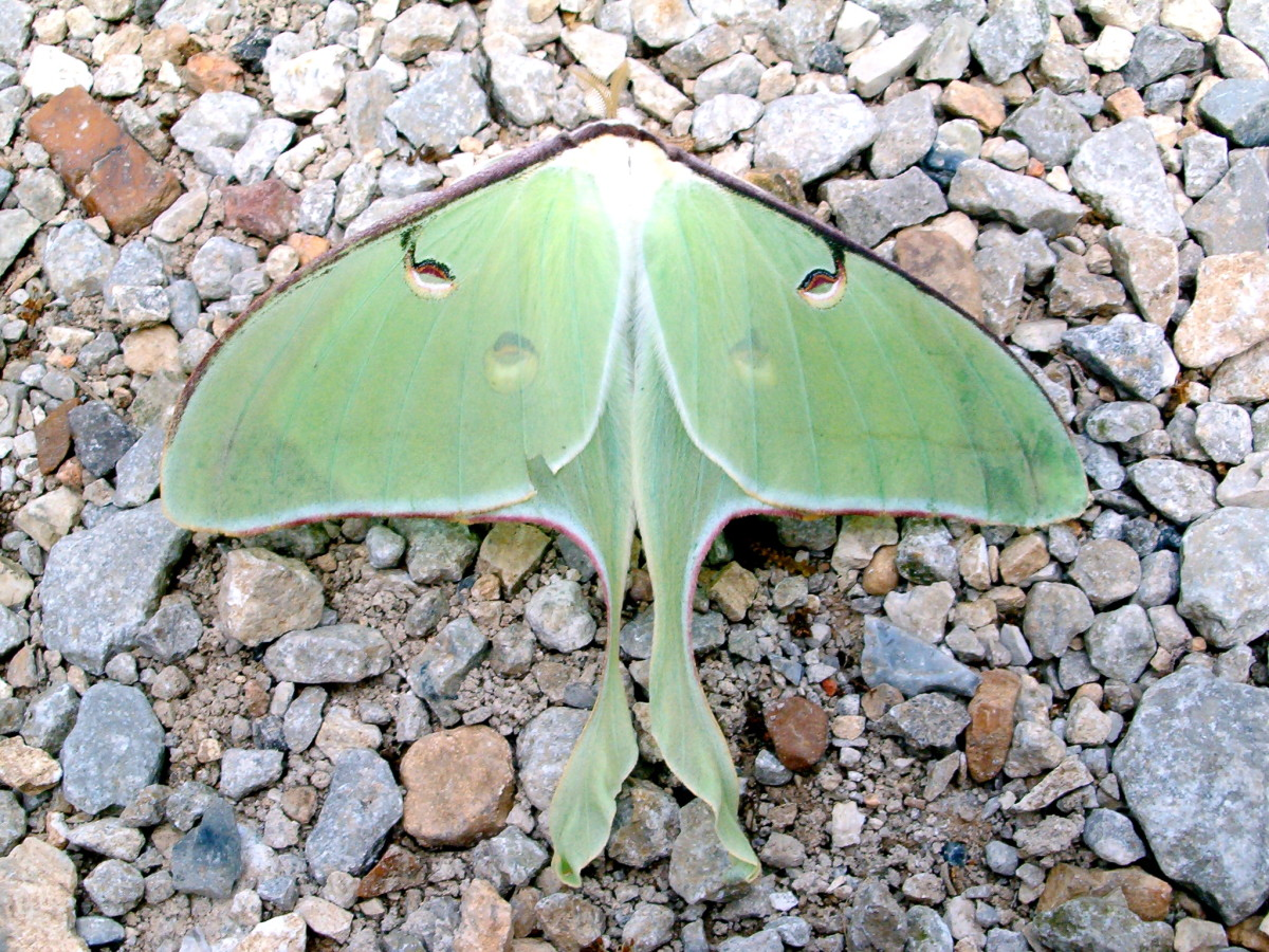 The beautiful Luna Moth.  Not something you see everyday!