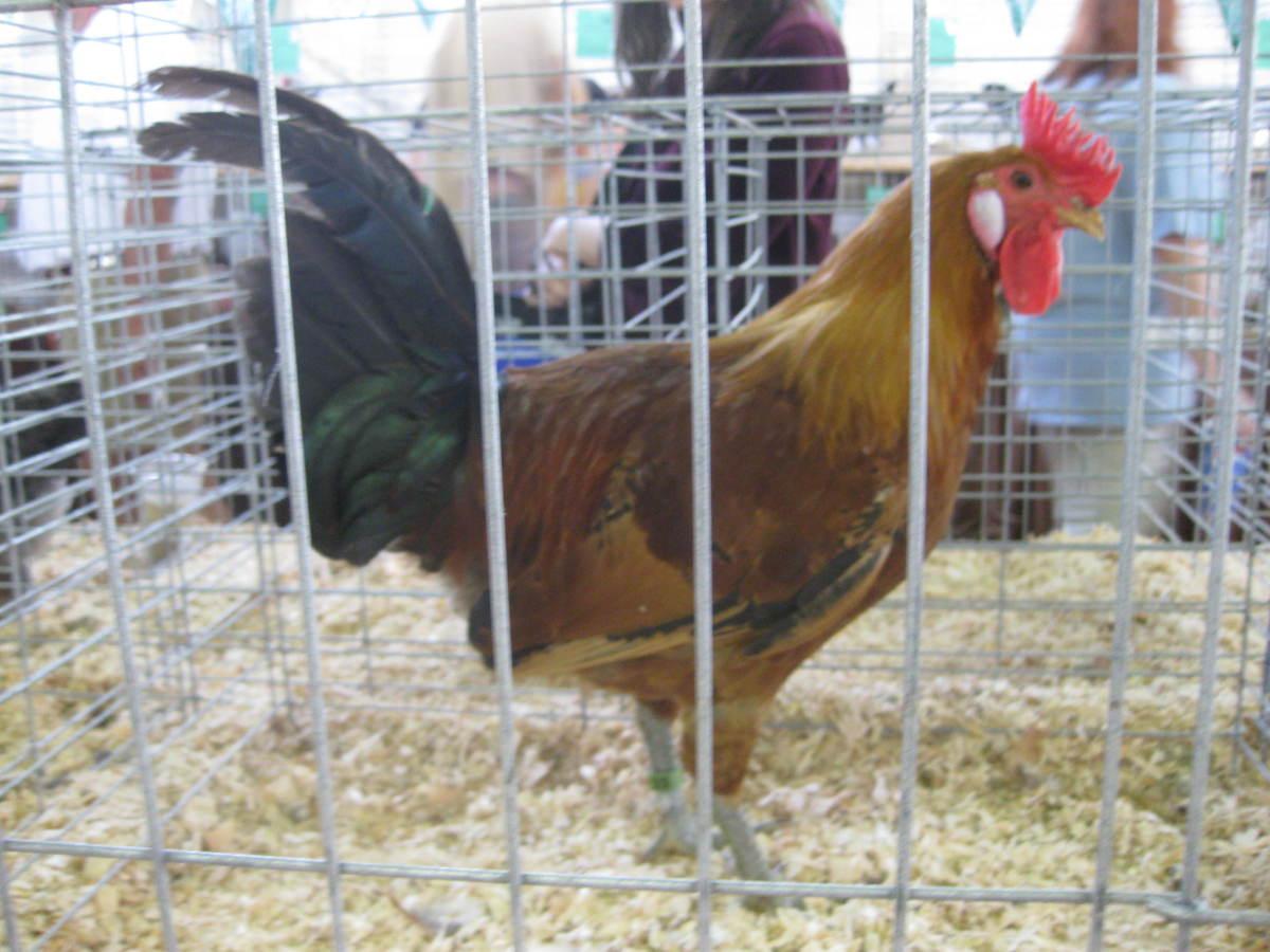Sicilian Buttercup rooster, Clark County fair