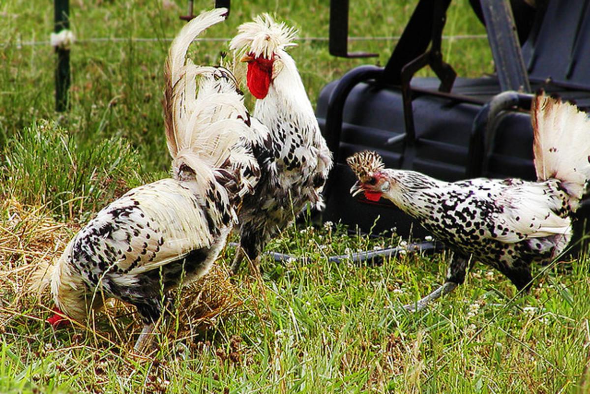 Trio of  Silver Spangled Appenzeller Spitzhauben chickens