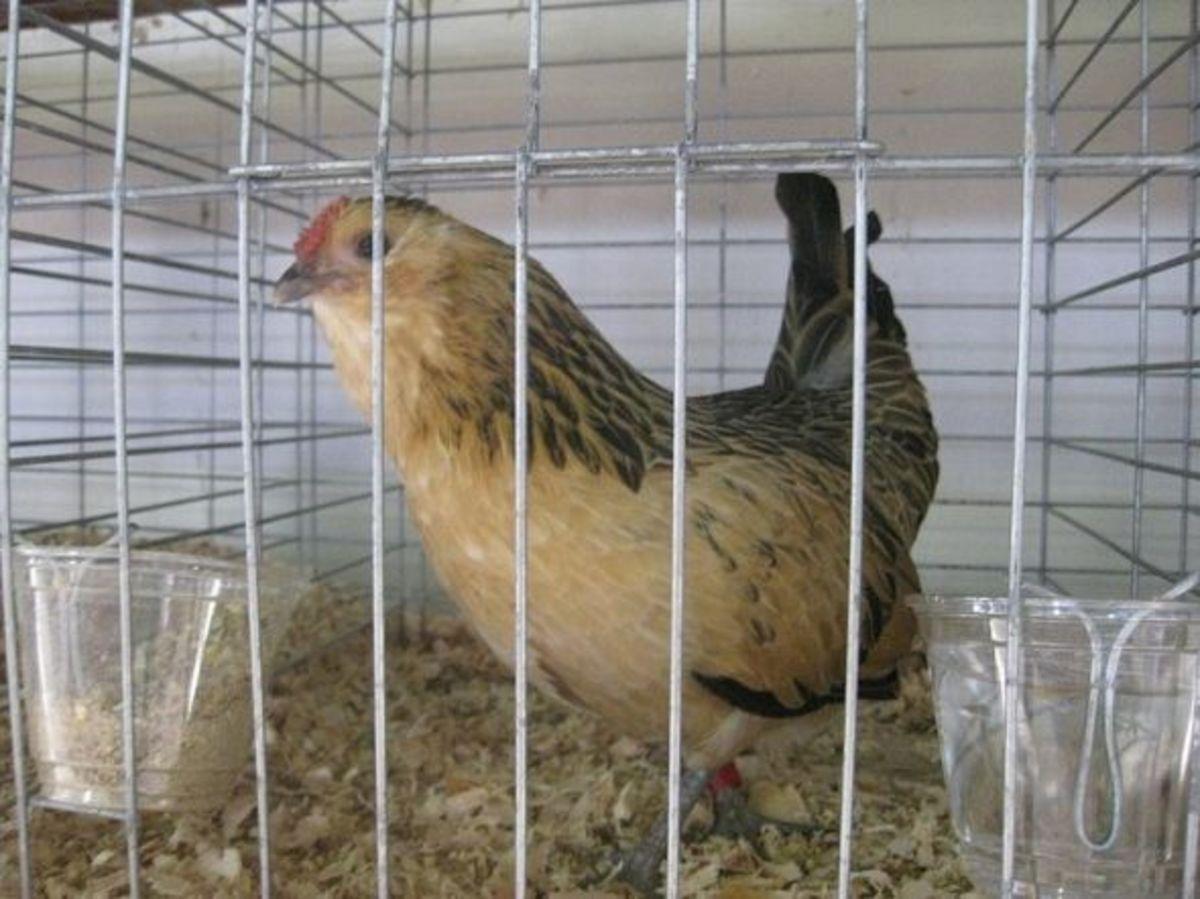 Belgian Bearded d'Anvers hen