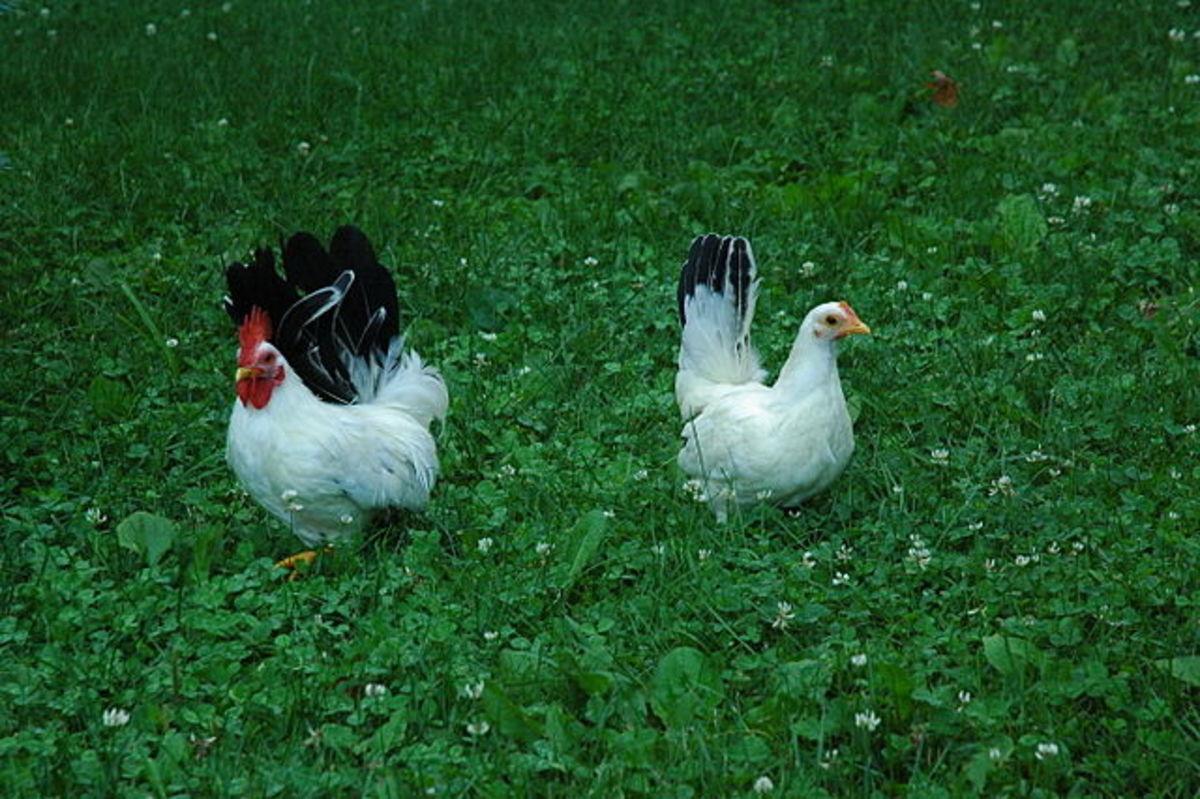 Pair of Japanese black-tail bantams