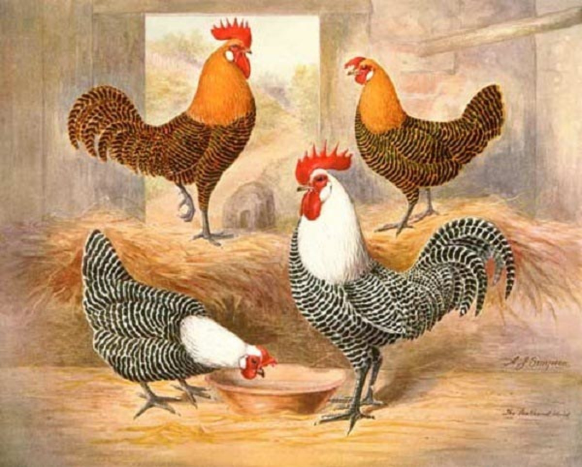 Silver and Gold Campine chickens