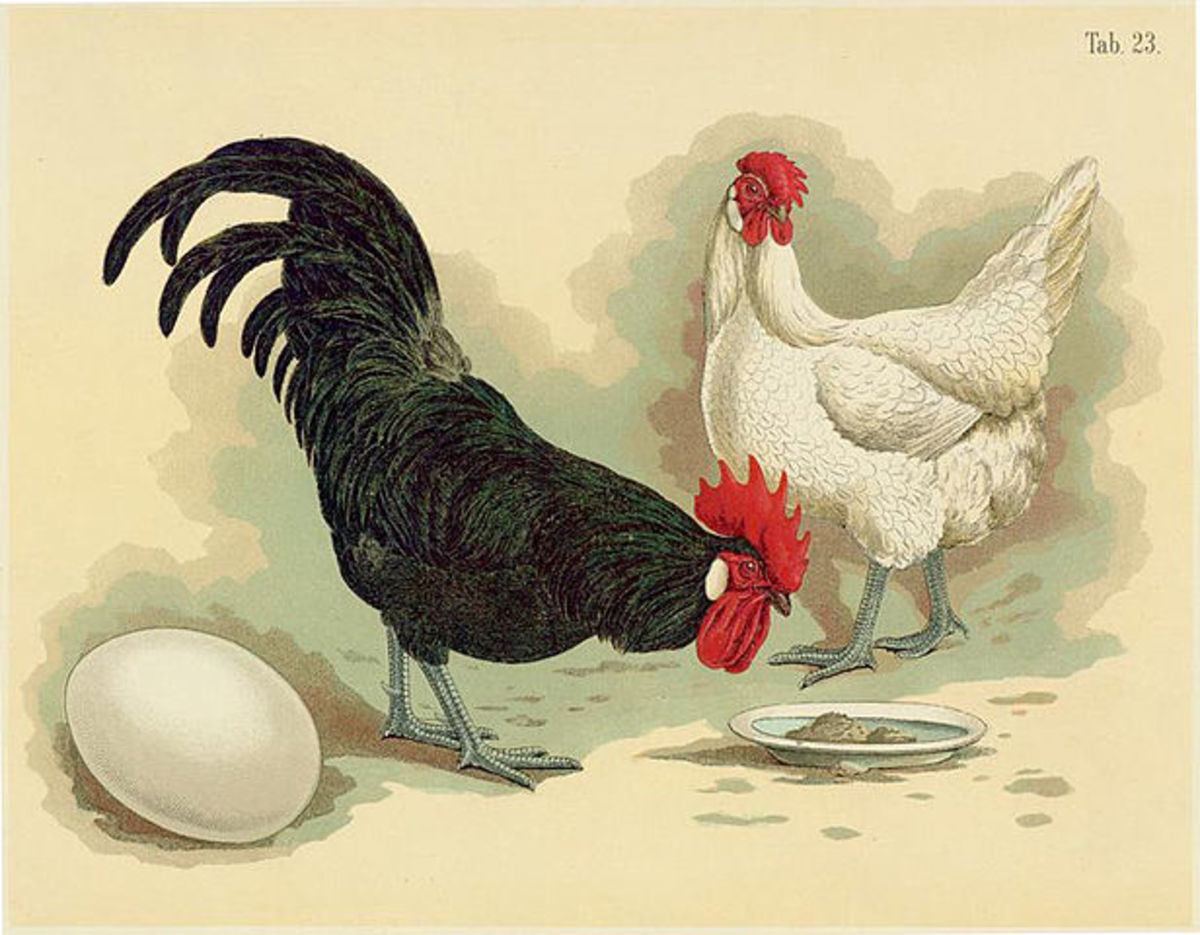 Black Minorca rooster and White Minorca hen