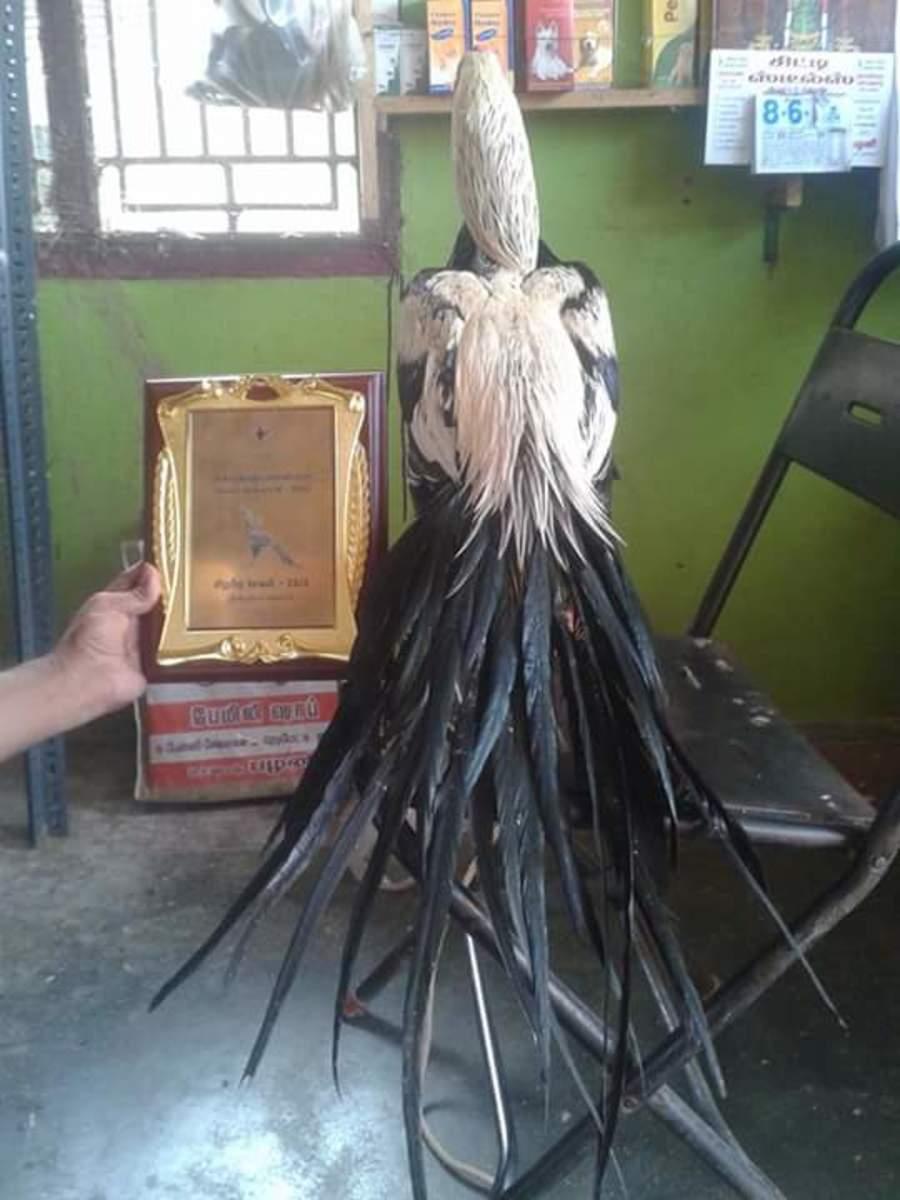 Long-tail parrot beak Aseel