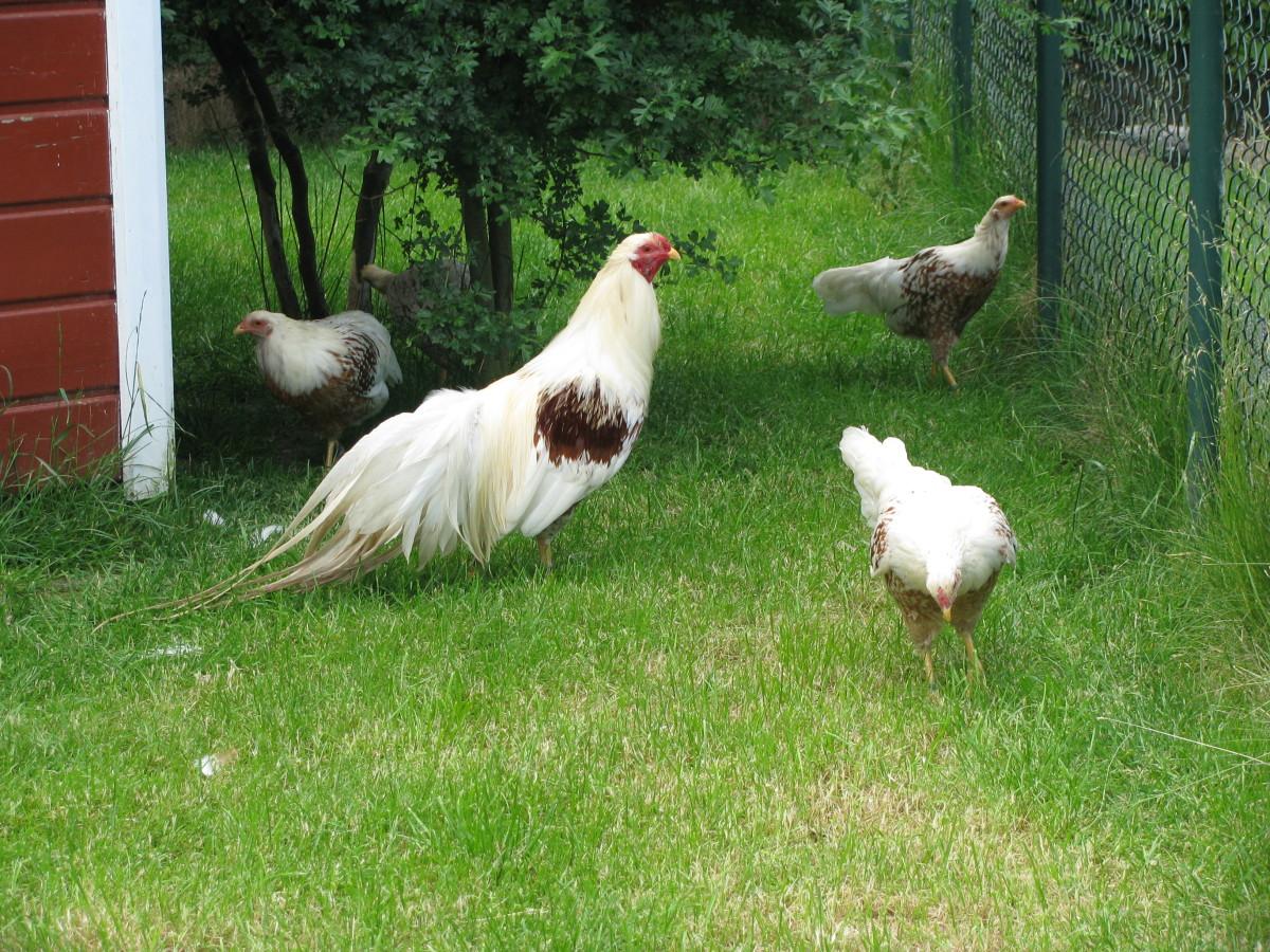 Yokohama flock in backyard