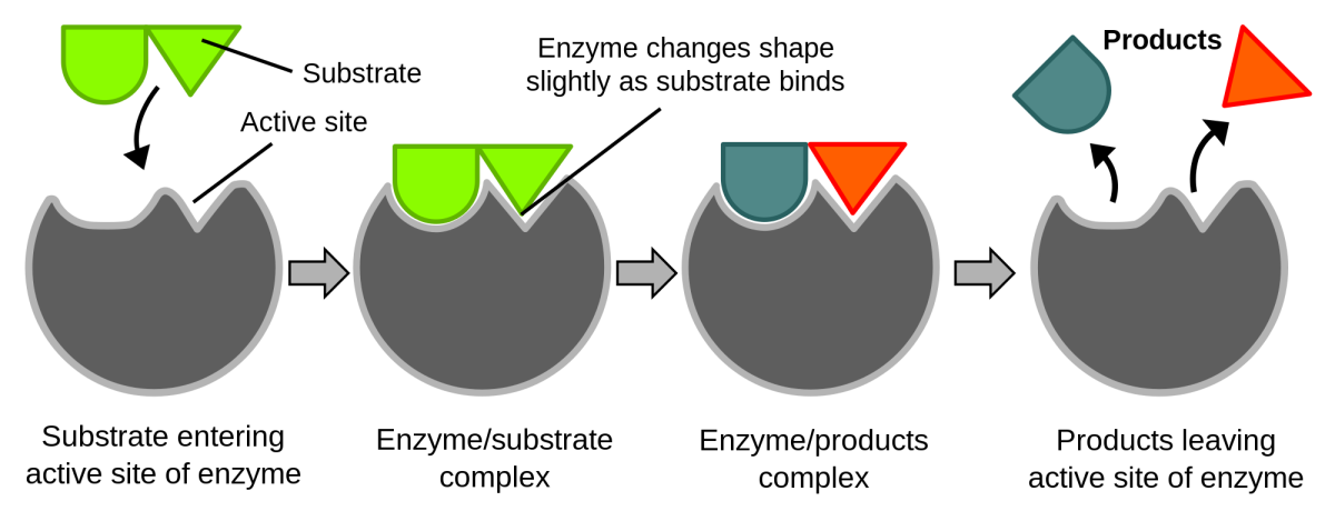 The substrates (reactants) join to the active site of an enzyme, enabling a chemical reaction to happen. The products that are made leave the enzyme.
