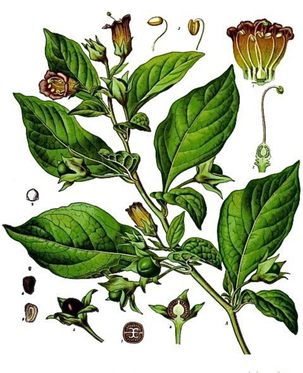 An illustration showing the parts of the deadly nightshade plant