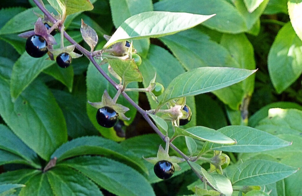 Leaves and ripe berries of the deadly nightshade plant