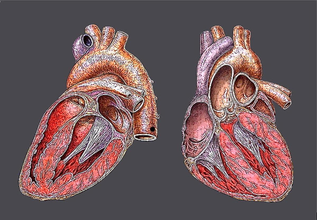 Atropine speeds up the heartbeat.