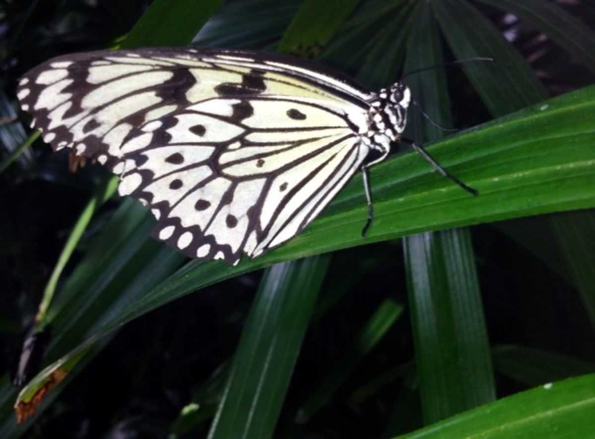 A paper kite butterfly resting on one of the tropical plant leaves.