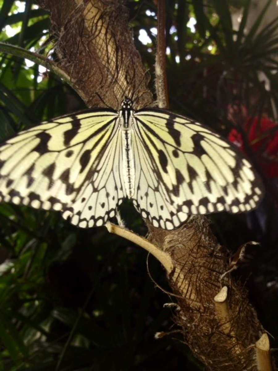 Paper Kite Butterfly Resting On a Tree Branch