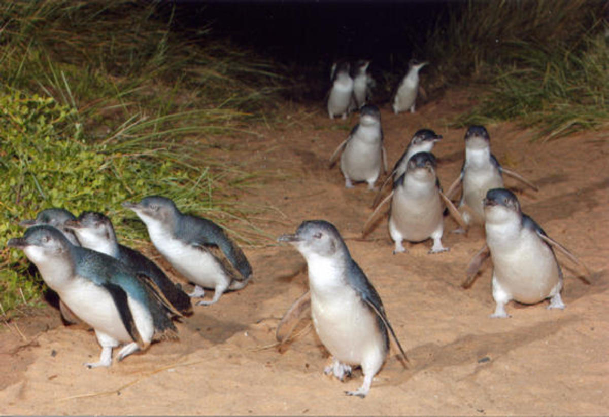Sunset Parade...penguins coming up from the beach at Phillip Island