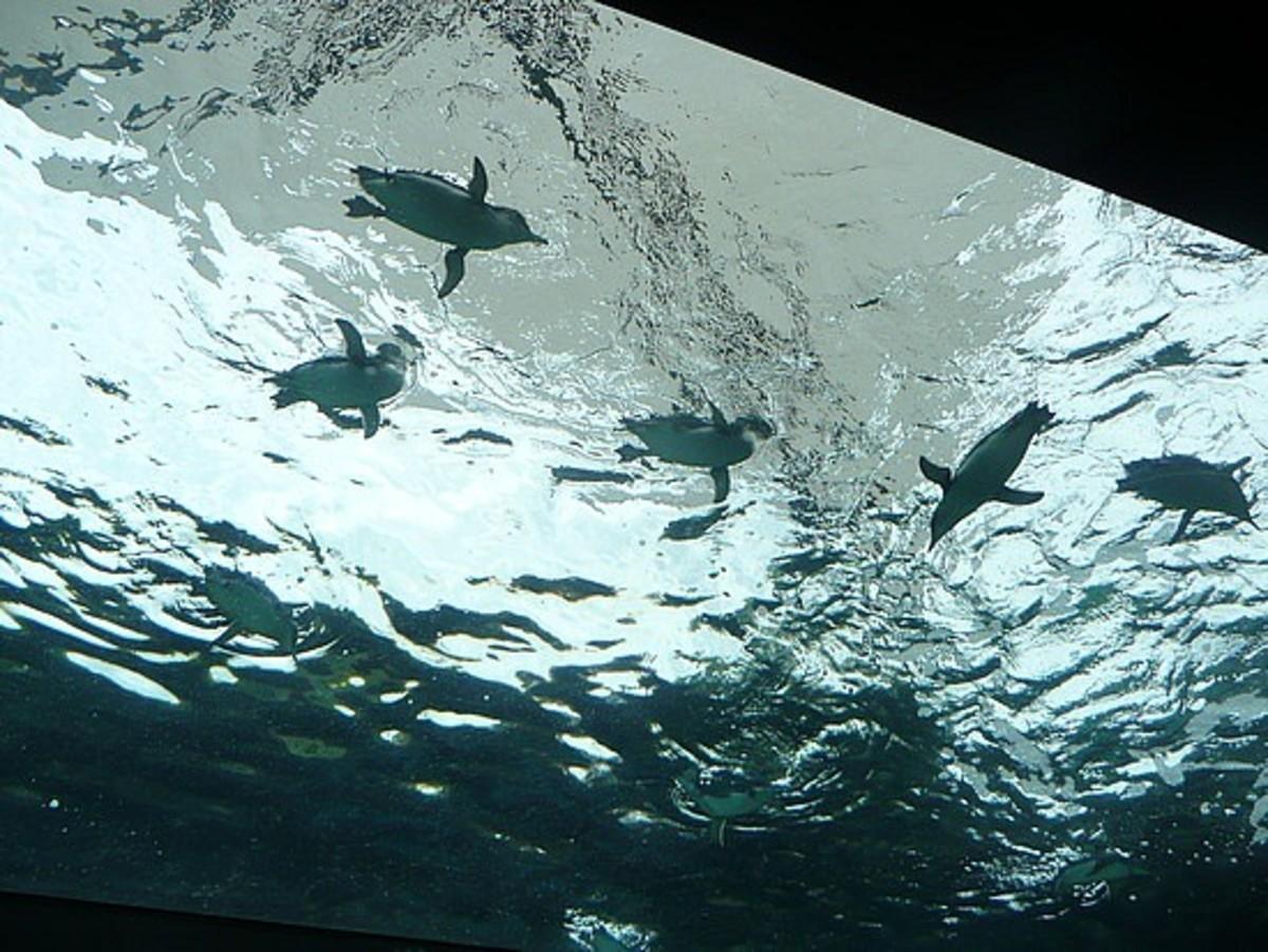 Fairy Penguins are elegant swimmers