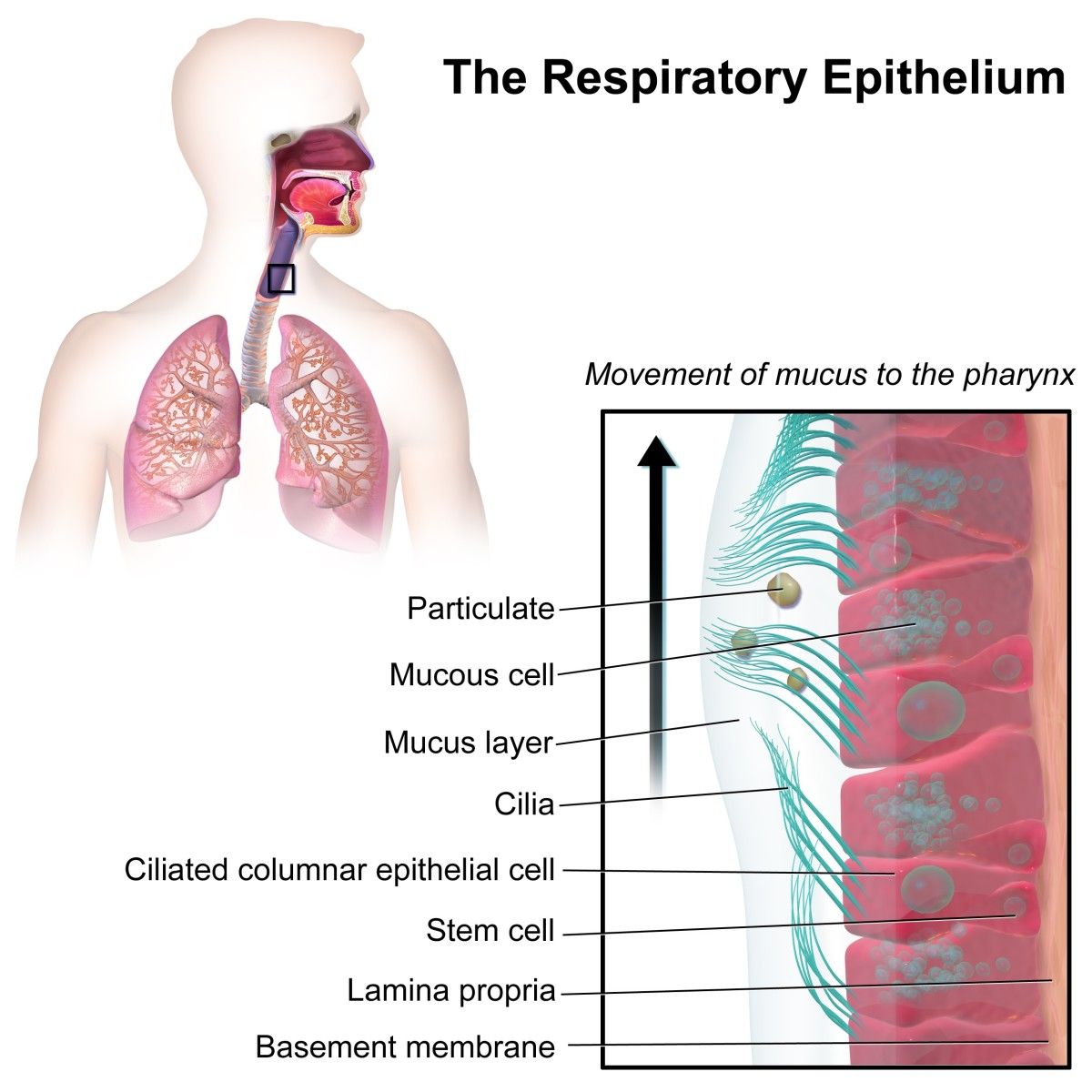 Mucus function in the respiratory system