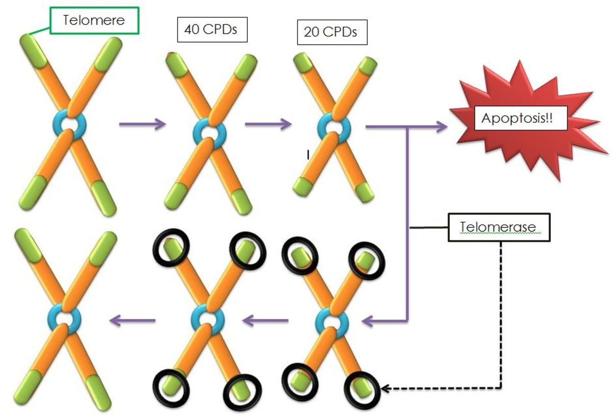 A diagrammatic view of telomere shortening and telomerase action; apoptosis is the self-destruction of a cell