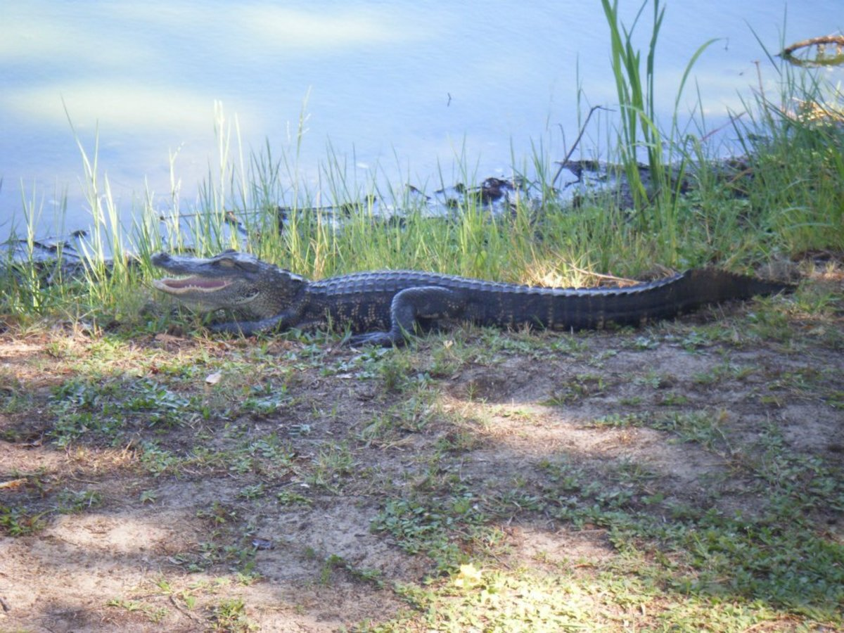 A young alligator by the water in Florida.  Alligators vastly outnumber crocodiles in the US. As well as forming a bigger population, they also inhabit a much wider geographical area, with crocodiles only present the southern tip of the state.