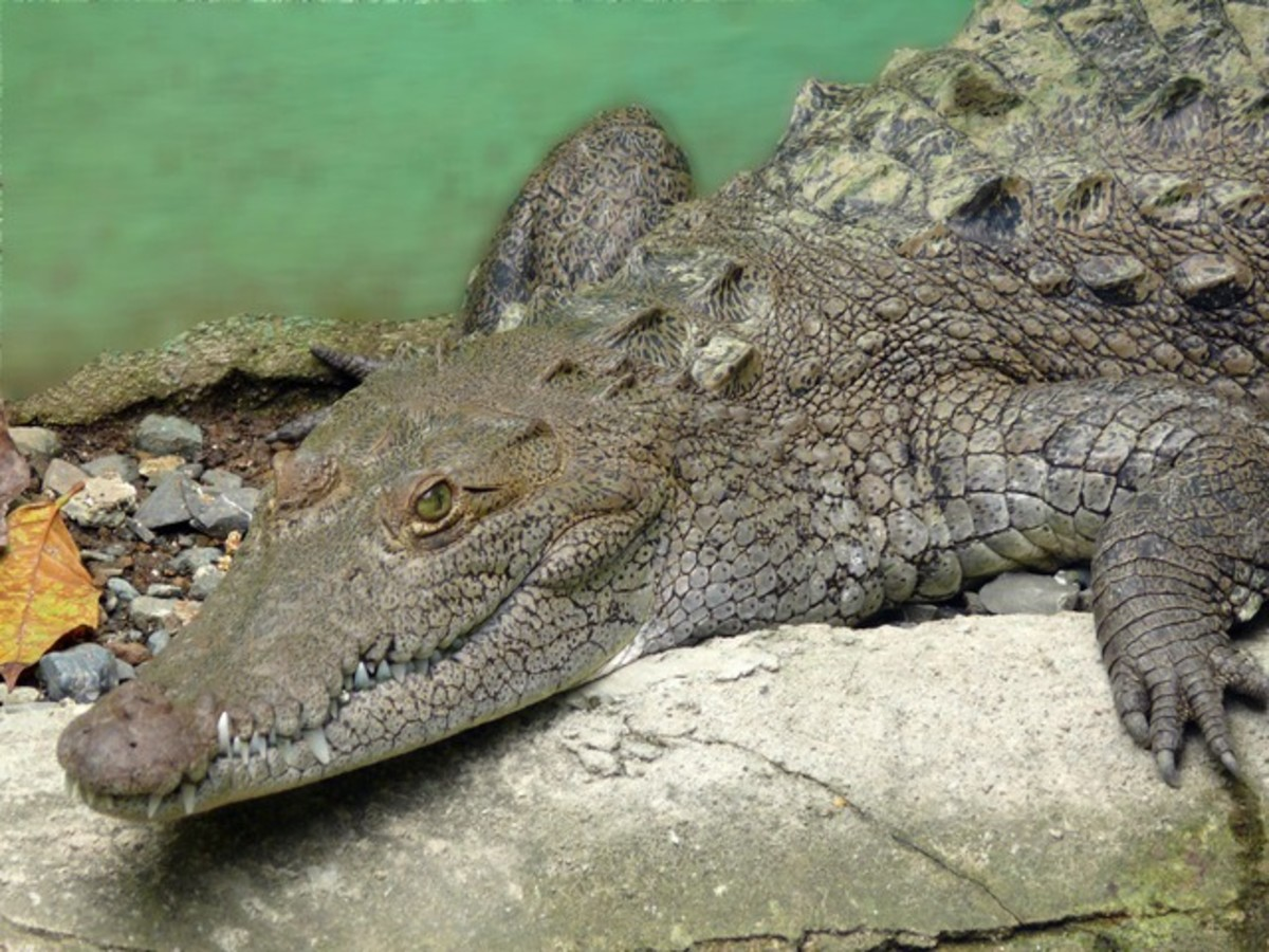 Notice that the snout of this adult crocodile looks pointed and some of the teeth on the lower jaw are clearly visible, in spite of the mouth being closed.