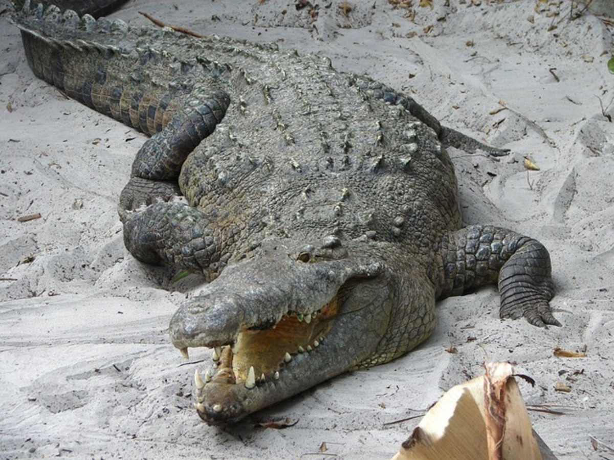 Note the pointed, v-shape of this crocodile's snout. The alligator's snout is more wide, rounded, and shaped like a U.