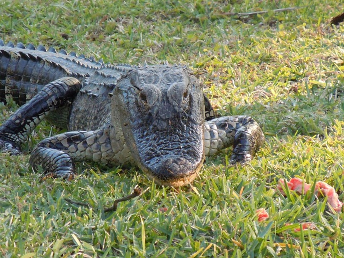 The alligator's snout is a more rounded U shape. The differences in snouts probably evolved due to dietary differences, with alligators needing to crack open turtle shells.