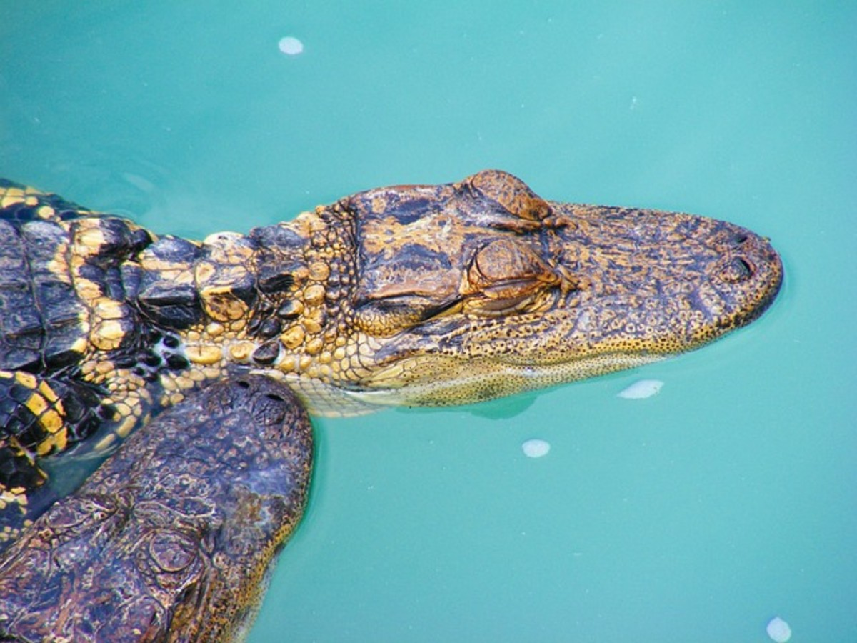A young alligator basking. As they get older, their hides gradually lose their stripey pattern and become darker.