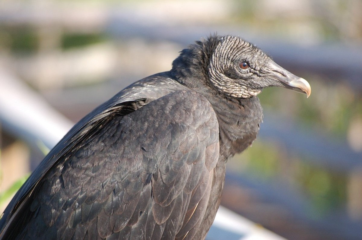 American black vultures like open areas of land with patches of woodland, or brush best.  They can be found in various terrains, however, with the possible exception of mountainous areas, where this type of vulture is rare.