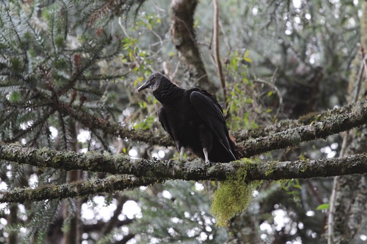 A lone black vulture perched on a branch.  These birds don't make conventional nests, instead they lay their eggs in places such as hollow tree stumps, or between large rocks, or in caves, and then decorate the area with small, shiny objects.