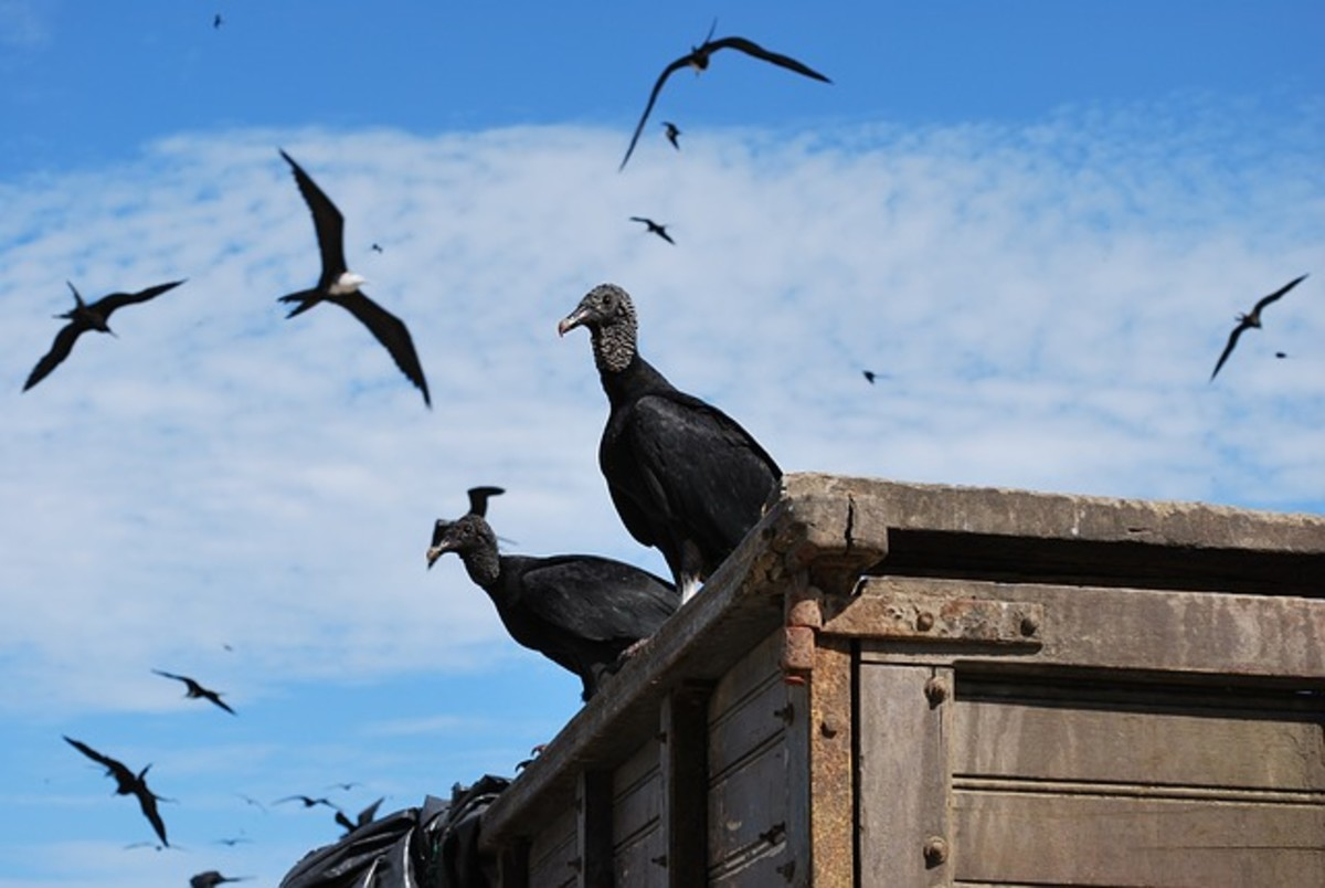 Two black vultures perched in Ecuador.  The birds often like to perch on fence posts or dead trees.  Alternatively, they will soar, looking for potential meals.  The birds are normally silent, but can make grunts or hisses when feeding, or agitated.