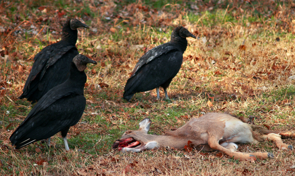 Black vultures with a deer carcass.  The birds forage using smell, flying low and picking off the odor of ethyl mercaptan, a gas that is given off when dead animals start to decay.  The birds are aggressive when feeding.
