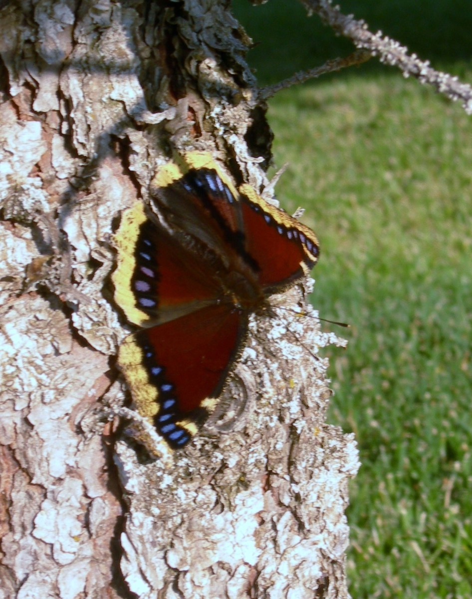 The top-side of the wings are more colorful.