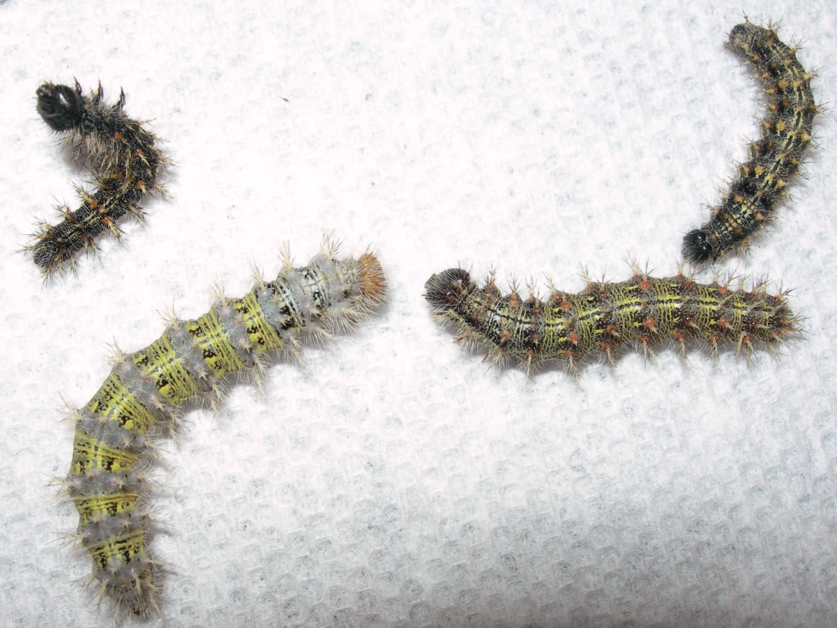 The caterpillars' color can very greatly.  These are all the same species.