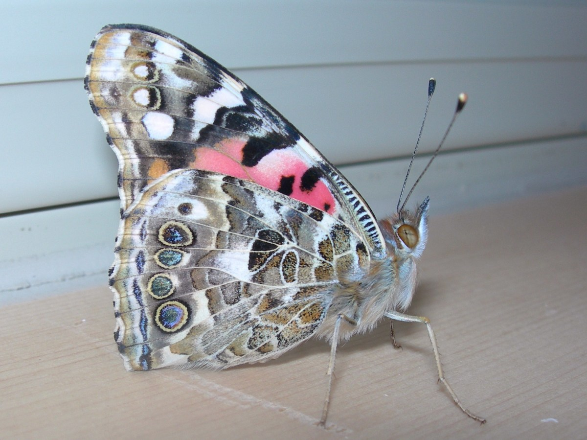 The underside of the wings have pinks, blues and soft browns.