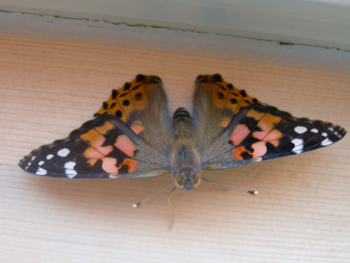 The tops of the wings have bold black and orange patterns.