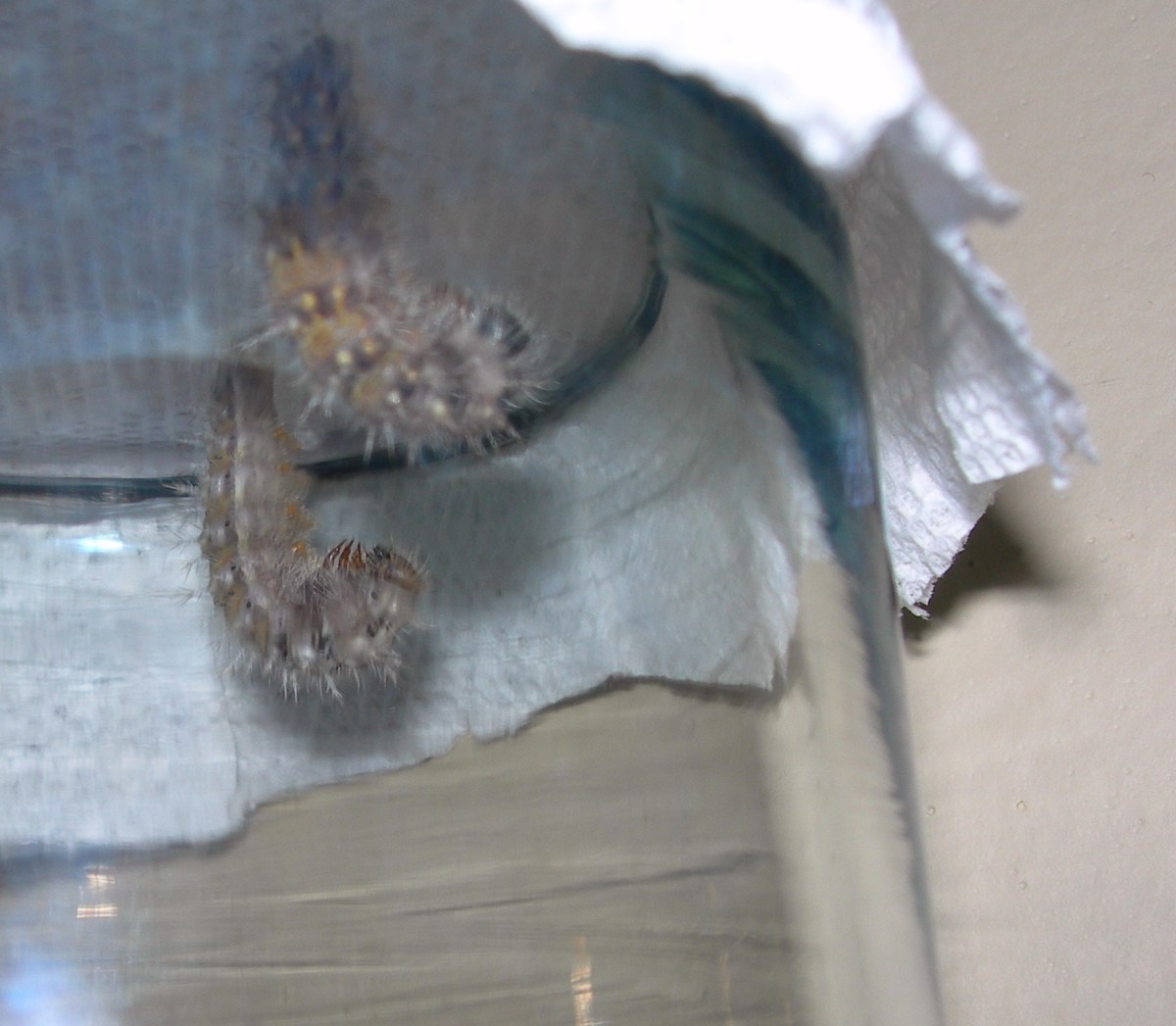 These prepupa caterpillars look like they are praying