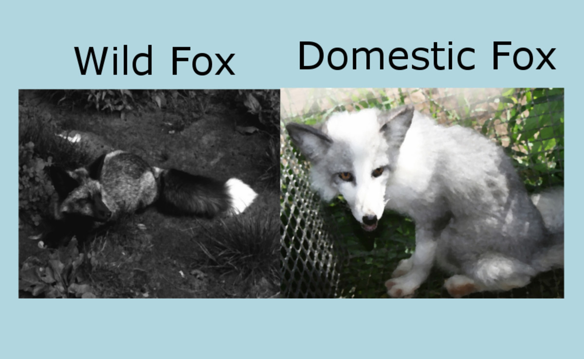 Domesticated foxes differ in physical characteristics from the wild type.