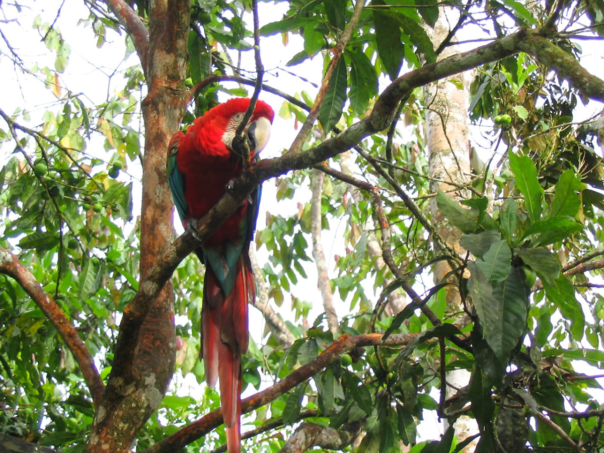 The rainforests of South and Central America are home to a wide range of colourful wildlife such as this Macaw.